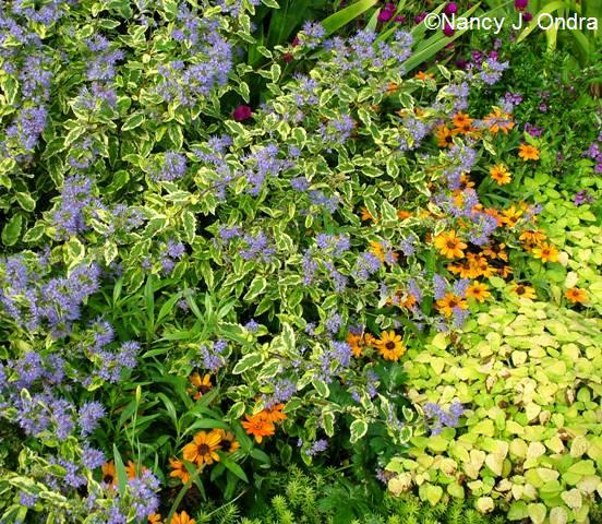 Caryopteris Summer Sorbet Zinnia PO Melissa All Gold Sept 15 07 (2)