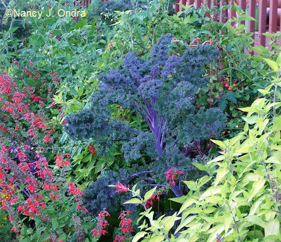 Kale Redbor Salvia GD and LiR Tomato Yellow Pear Sept 28 07