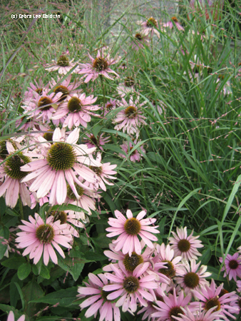 Pink coneflowers