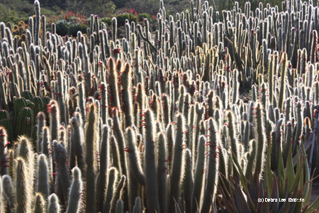 Cactus field