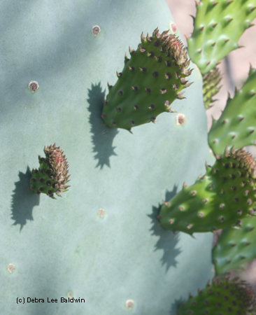 Cactus pads