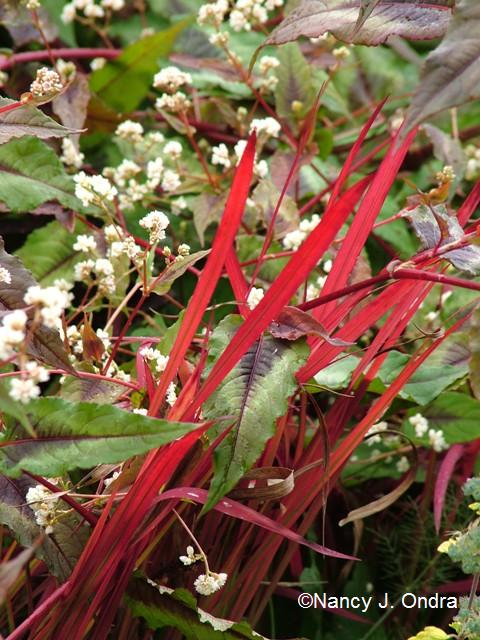 Imperata cylindrica Persicaria Red Dragon Oct 18 09