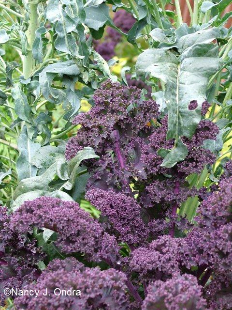 Kale Redbor with spigariello Oct 18 09
