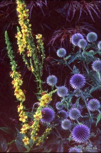 Echinops and verbascum