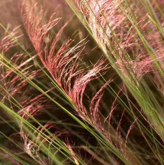 Mr.Cakes-End of The Line-Muhly Grass.jpg-resized
