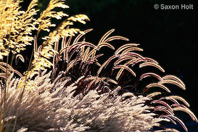 Pennisetum backlit in Ring Mt. garden