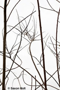 Bare winter branches of Cotinus