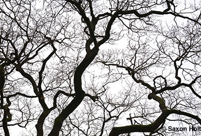 Valley Oak tree bare branches