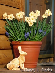 Pot Narcissus and Muscari May 5 06