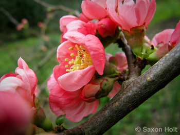 Flowering quince spring