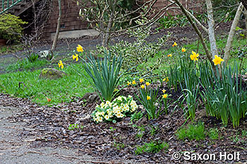 entry garden with daffodils