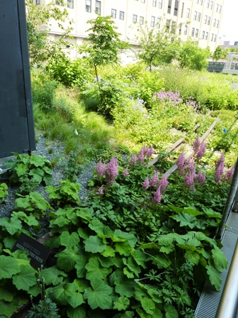 Astilbe chinensis on railroad tracks-High Line-resized