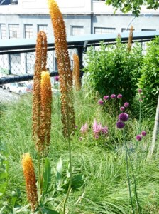 Eremerus, Astilbe and Alliums-resized-High Line