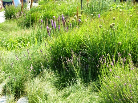 liatris, allium and daphea, ornamental grasses-a prairie garden
