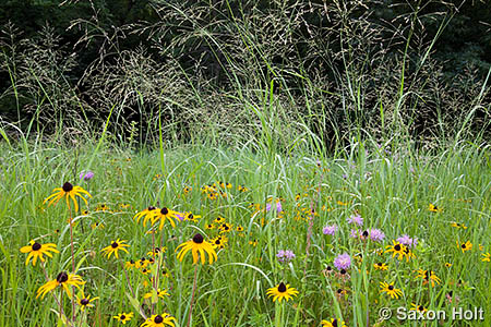 Rudbeckia and Panicum in prairie