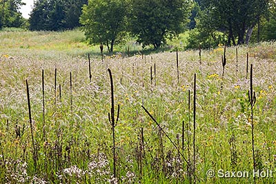 Mullein stalks in the prairie