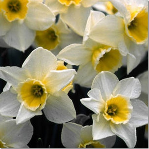 Narcissus 'Sweet Love' Brent and Beckys