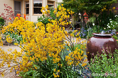 Kangaroo Paw - Anigozanthos 'Harmony' and urn in garden