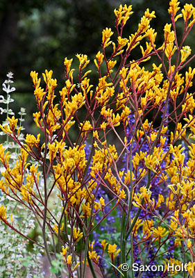 Kangaroo Paw - Anigozanthos 'Harmony' in drought tolerant California garden