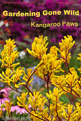 Cover with text Kangaroo Paw - Anigozanthos 'Harmony'