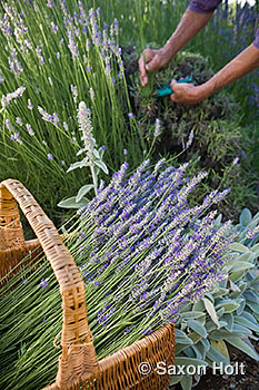 basket of fresh cut lavender