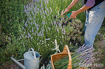 cutting english lavender