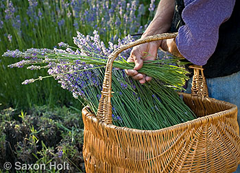 putting fresh harvested lavender into basket