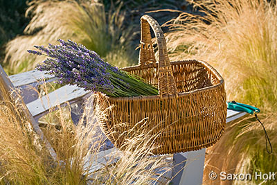 Lavender harvest in basket in afternoon sun