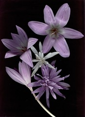 oct2009_scans_colchicum
