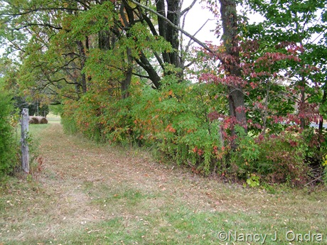 Hedgerow at farm with Sassafras albidum Oct 11 10