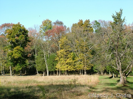 Hedgerow at farm with Tilia americana Oct 11 10