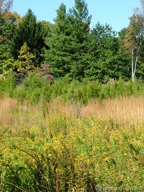 Meadow at Hayefield with Solidago and Sorghastrum and Juniperus virginiana Oct 11 10