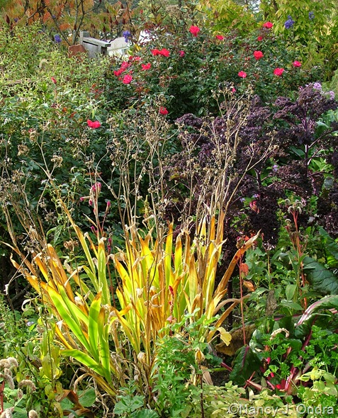 Belamcanda chinensis (fall color) with 'Redbor' kale and Rosa 'Radrazz' Oct 11 10