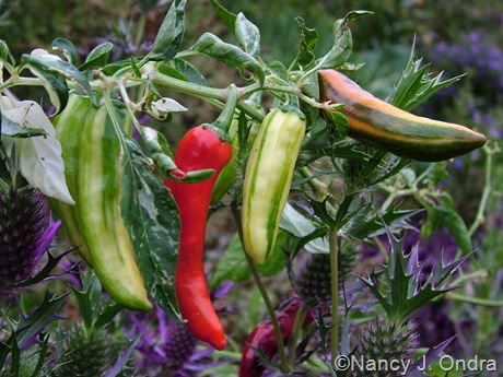Capsicum annuum 'Fish'