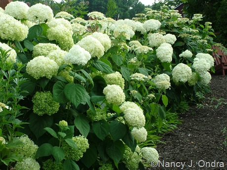 Hydrangea arborescens