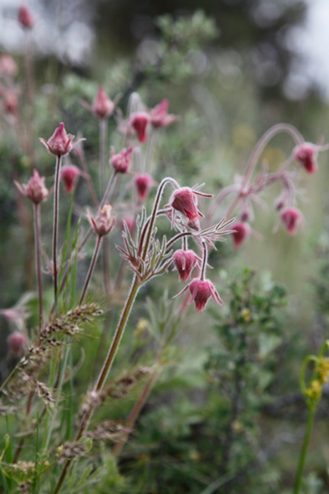 Geum triflorum_9756
