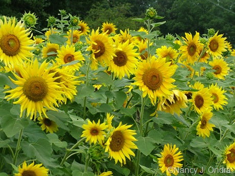 Helianthus annuus