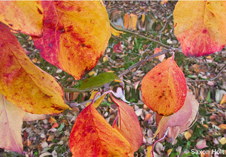 fall leaves of dogwood tree, Cornus florida for m'eyes recuperating photoshop