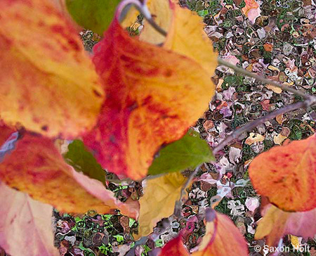 fall leaves of dogwood tree, Cornus florida for m'eyes recuperating 2 photoshop