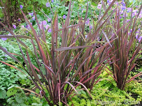 Oryza sativa 'Red Dragon'