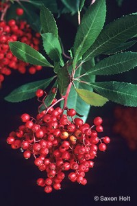 Toyon or Christmas Berry,Heteromeles arbutifolia 