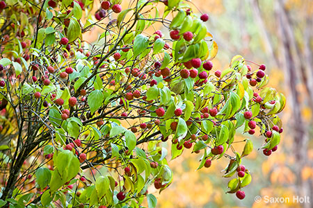 Red winter berries of Cornus kousa