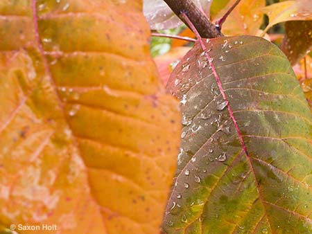 rain water drops on leaves of Cotinus 'Grace'