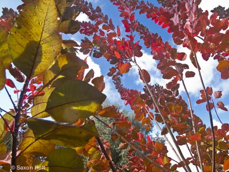leaves of Cotinus 'Grace' against clearing blue sky