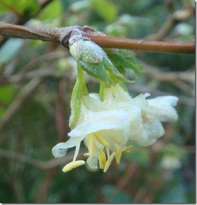 12 De welriekende Lonicera fragrantissima bloeit de hele winter, tot april.