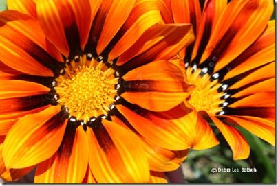 Gazania_duo_resized[1]