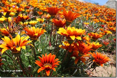 Gazania_hillside_resized[1]