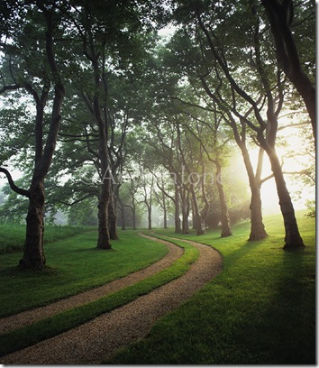 Selectively pruned trees lining avenue and gravel driveway in early morning light. Hither Lane, Long Island, USA. Designed by Reed Hilderbrand Associates