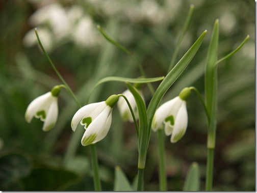 10 Galanthus nivalis 'Scharlockii'