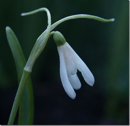 11 Galanthus nivalis 'Lady Scharlock'
